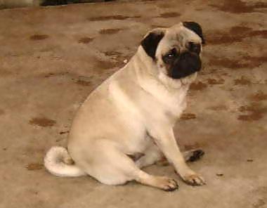 パグ この写真は「きむきむさん」が提供してくれました。 目 食肉目 科 イヌ...  動物写真の