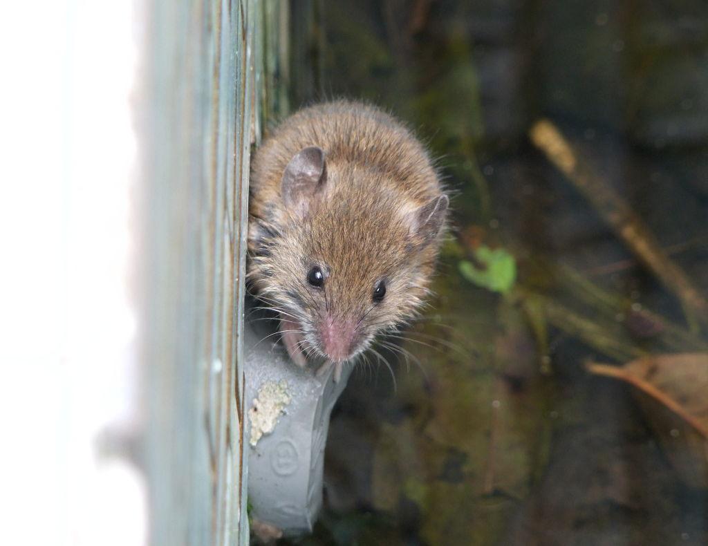 ヒメネズミの画像 p1_6