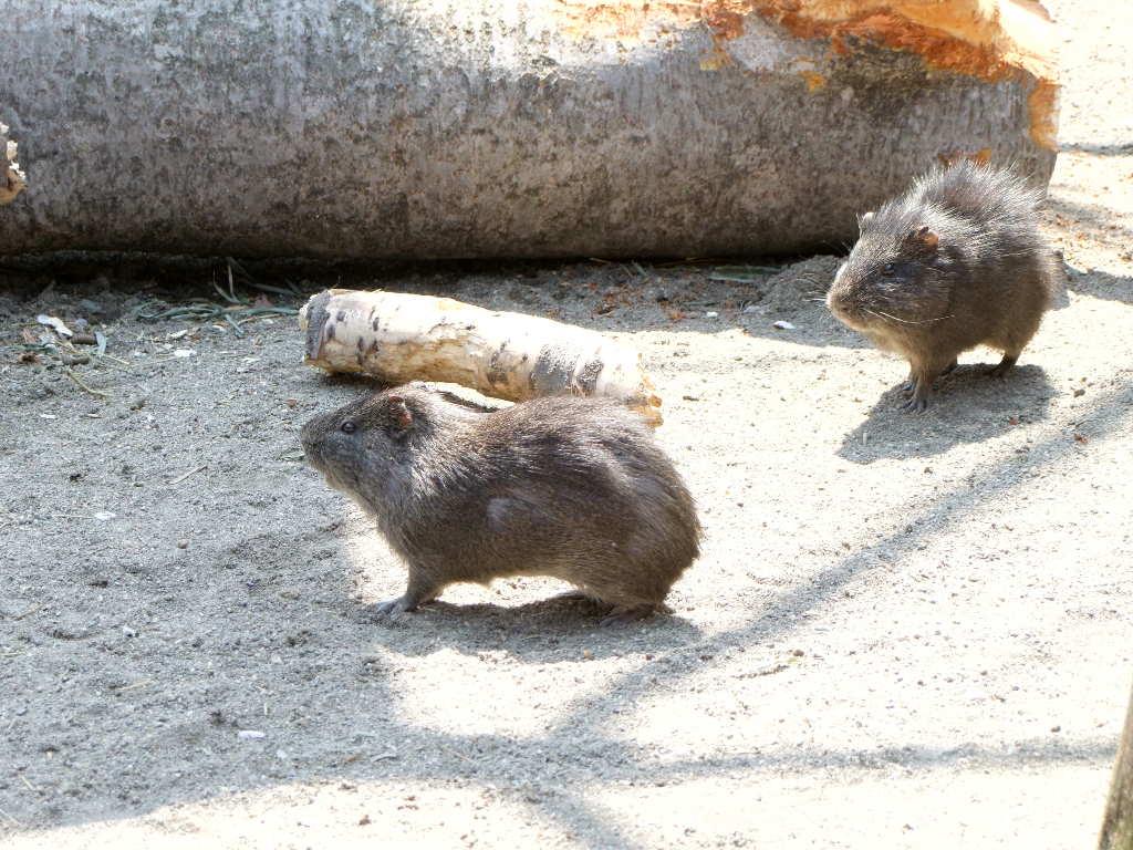 テンジクネズミの画像 p1_38