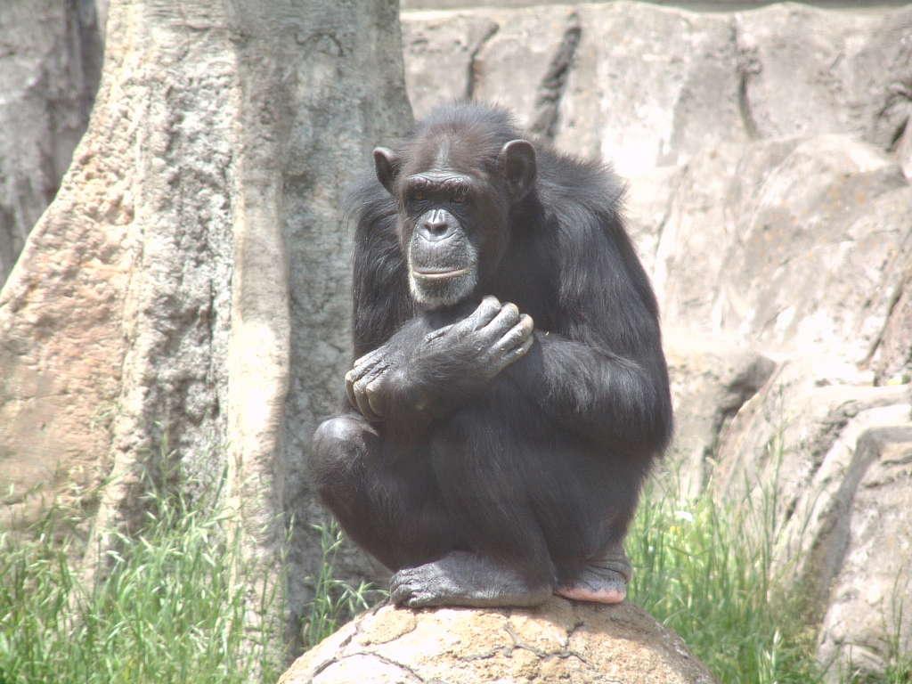 チンパンジーの画像 p1_10