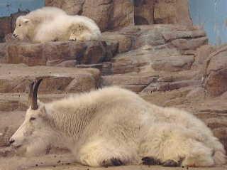 シロイワヤギの画像 p1_28